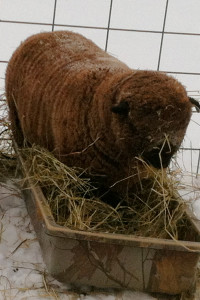 Katie in the hay sled