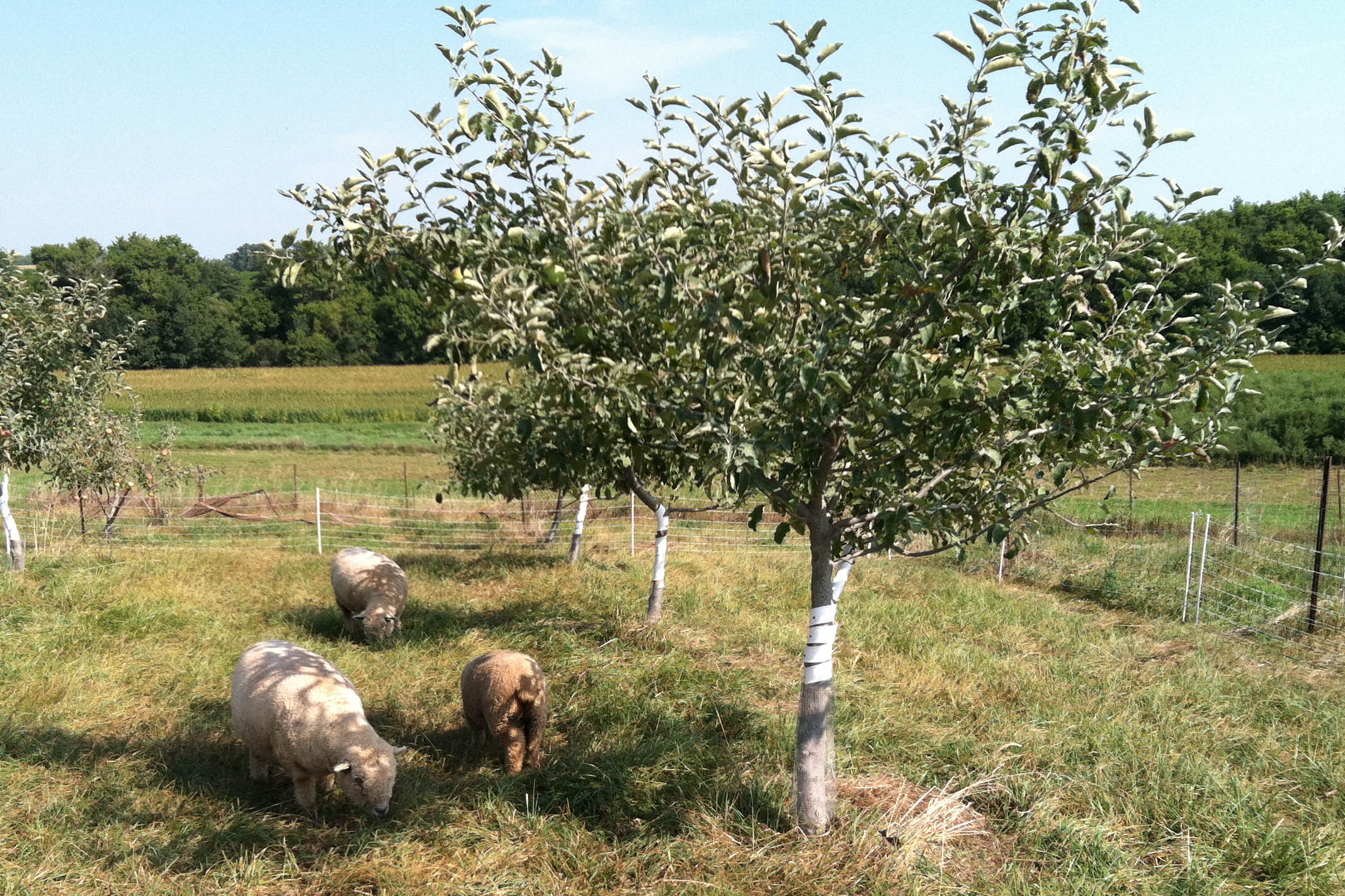 Sheep mowing the apple orchard.