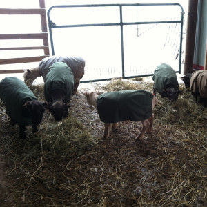 The newly shorn yearling ewes with coats reapplied.