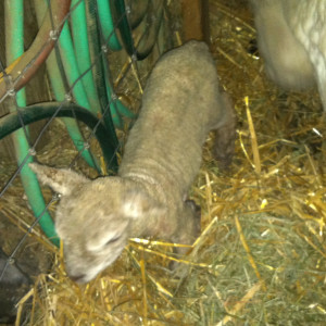 Claire's first twin ewe