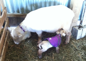 Bonnie finds mama's teat at last.