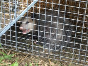 Possum in unbaited trap.