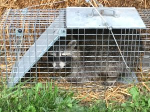 Raccoon captured with dogfood.