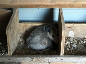 Possum INSIDE chicken safe house!